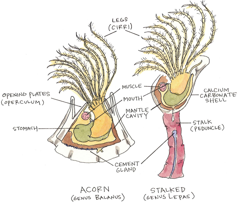 Barnacle Anatomy