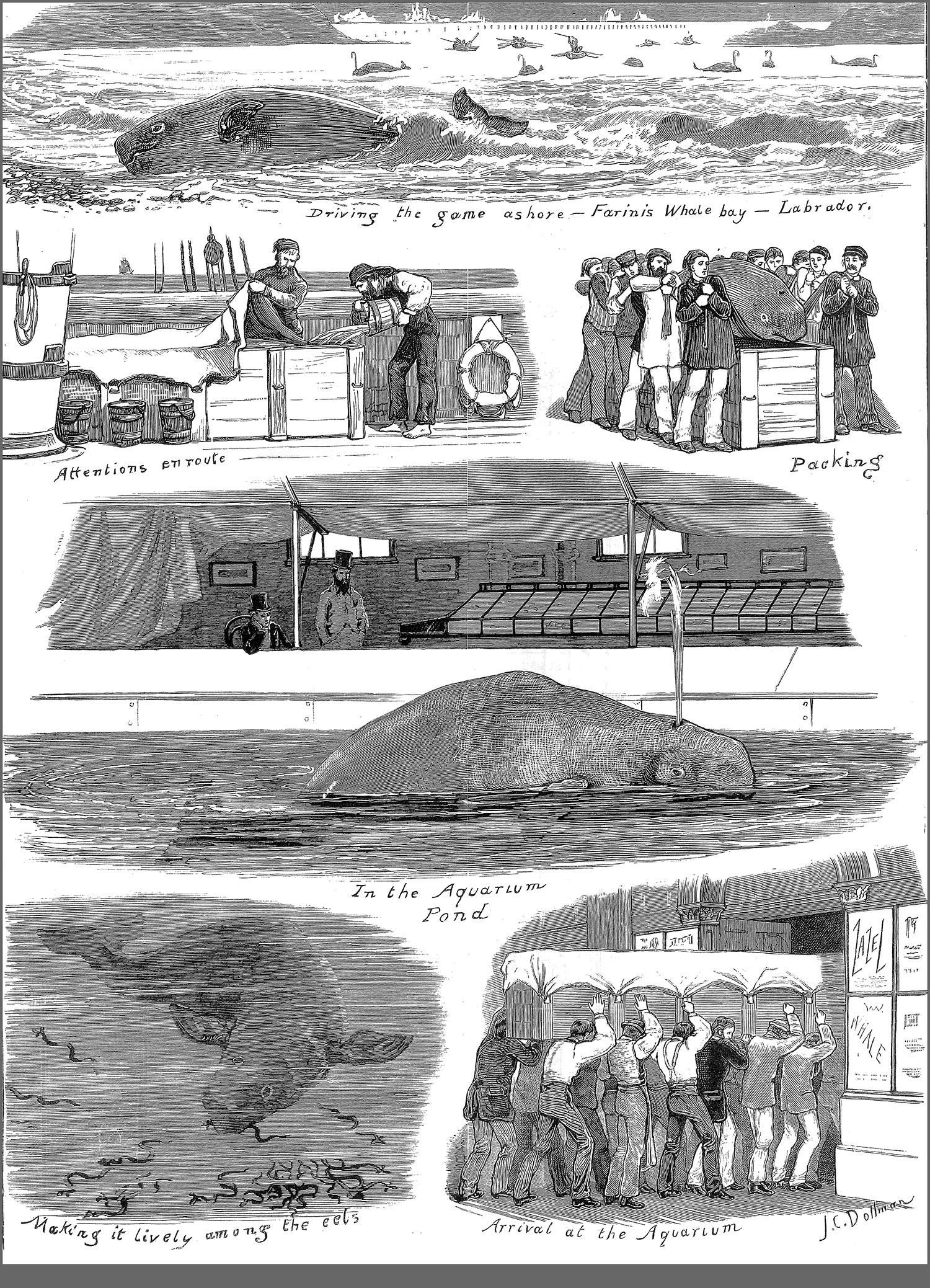 Beluga 1878