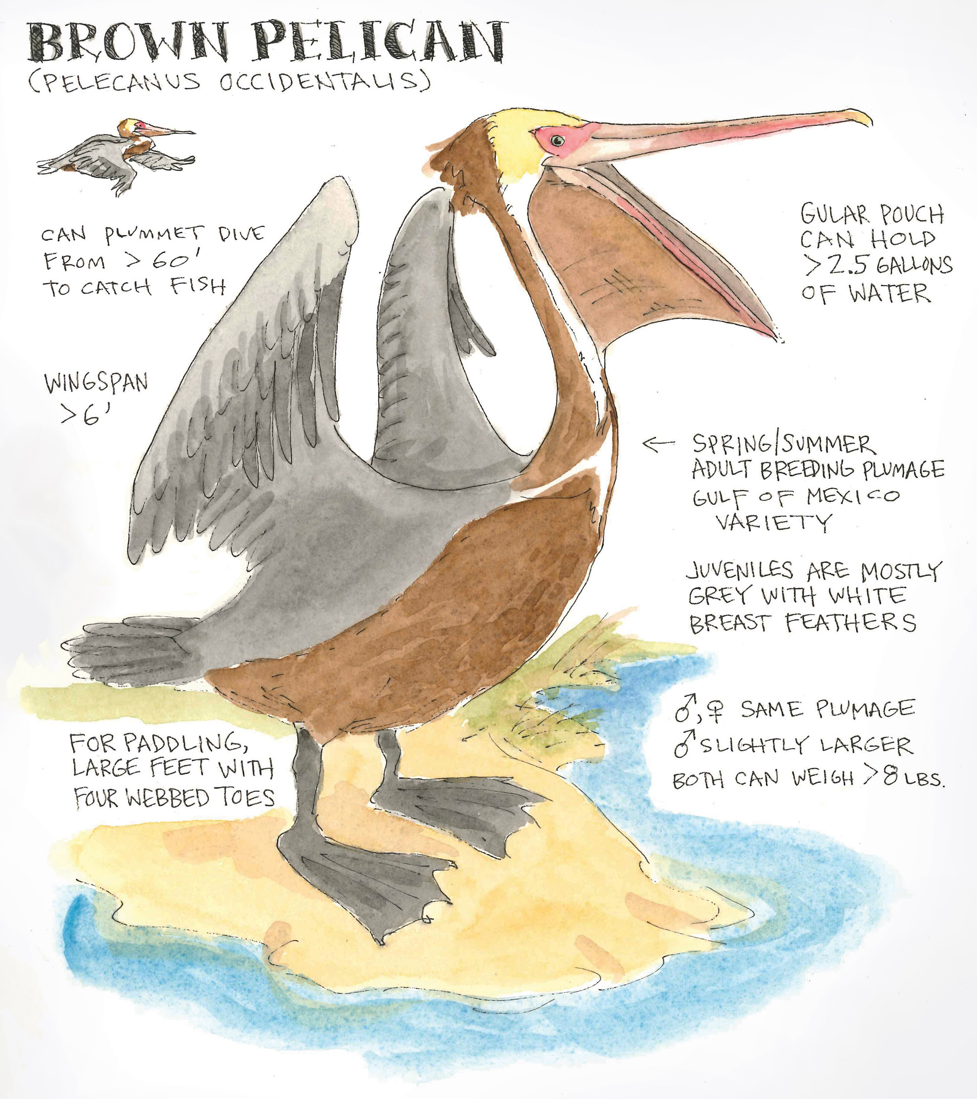 Brown Pelican Anatomy