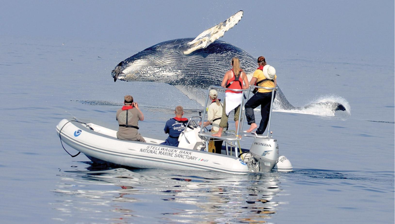Cara Stellwagen - humpback whale