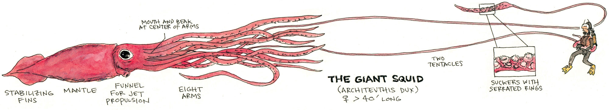 Giant Squid Anatomy
