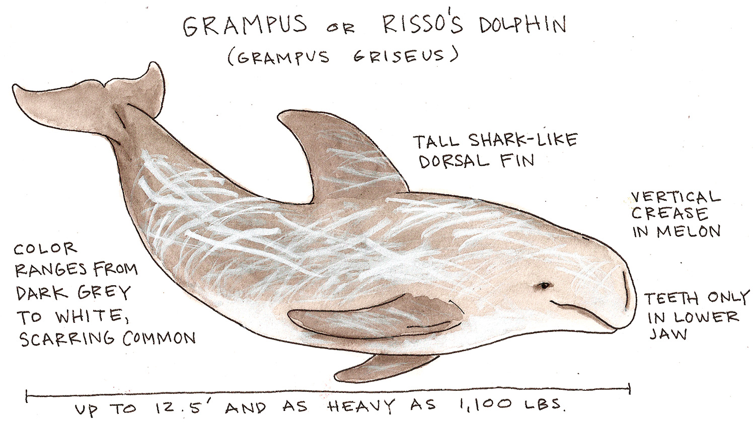 Grampus or Risso\'s Dolphin - National Maritime Historical Society