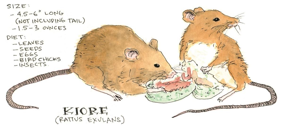Kiore Rat Anatomy