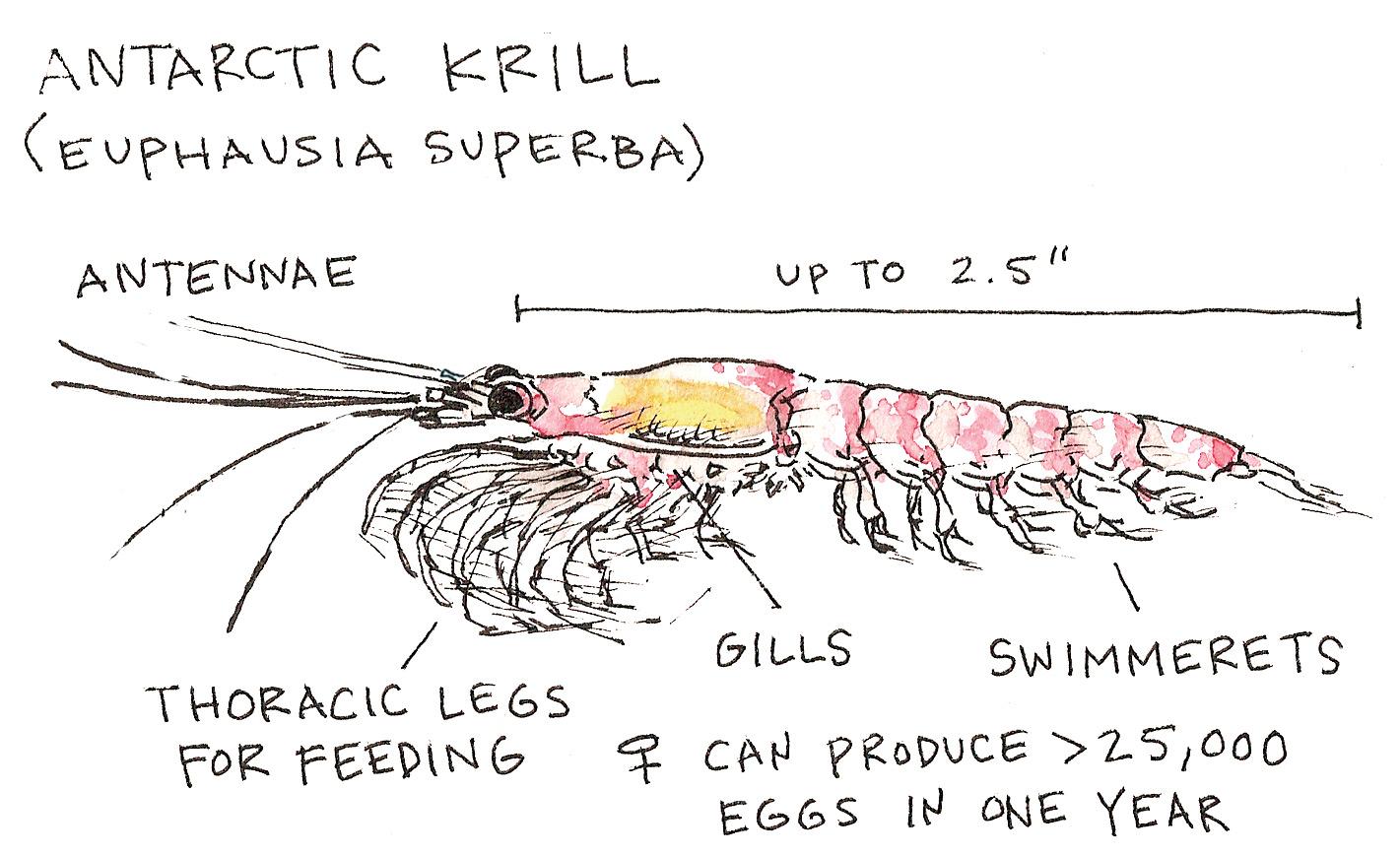 Krill Anatomy
