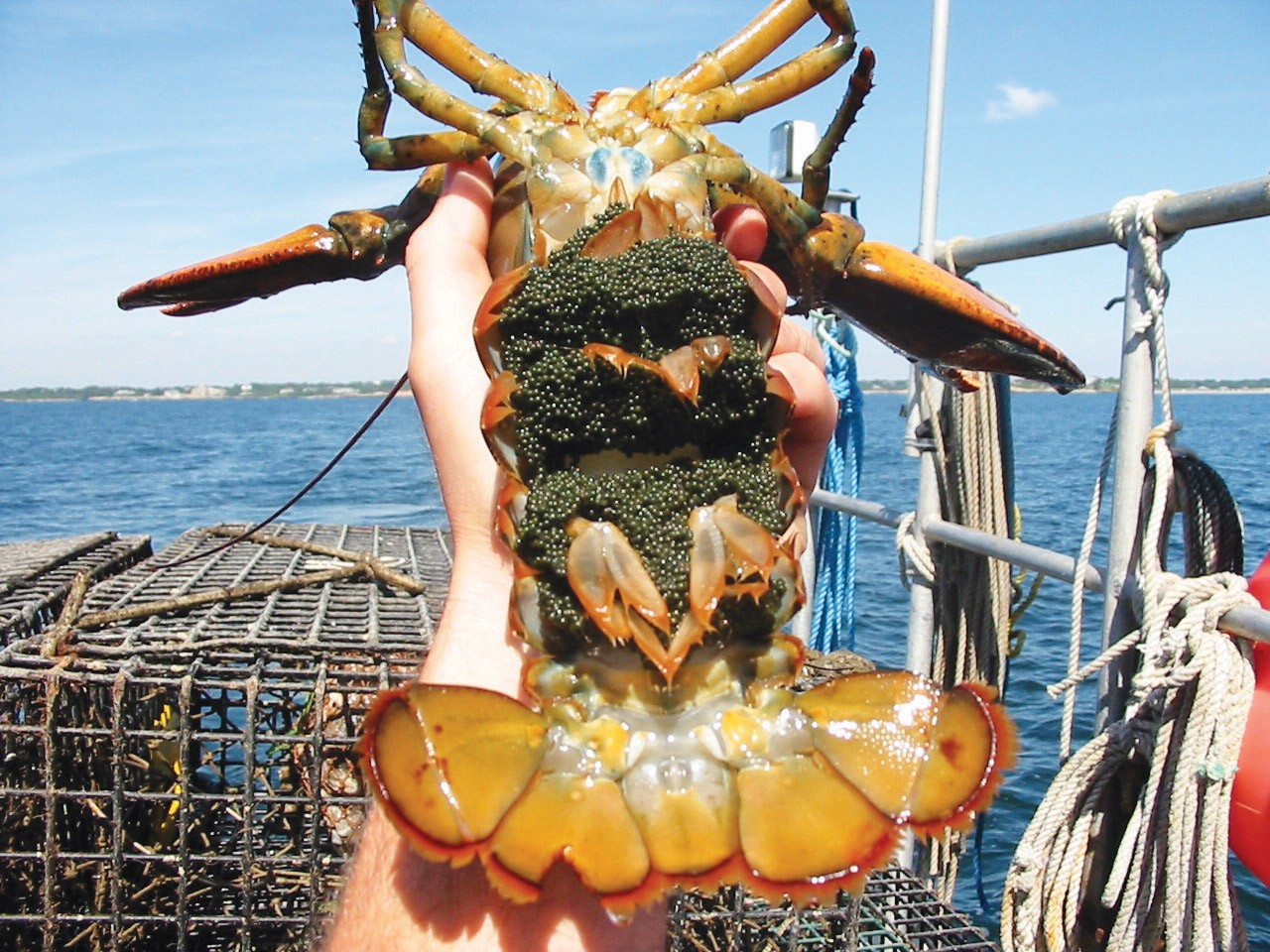 Lobster Eggs NOAA Ocean Technology Pic