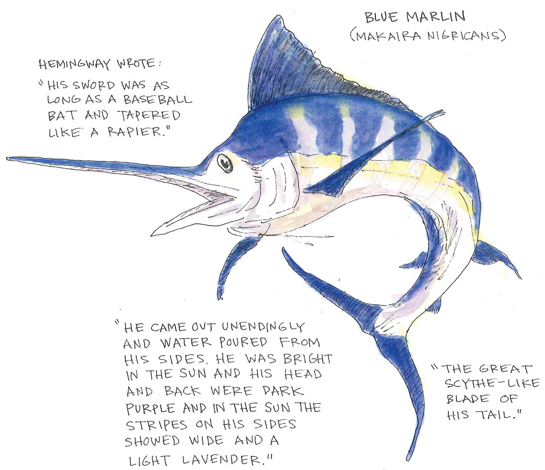 Marlin Anatomy