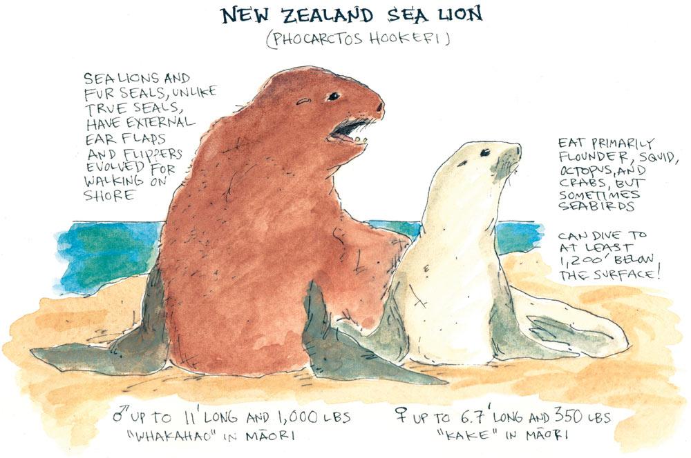 New Zealand SeaLion Anatomy