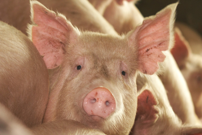Newby Pigs