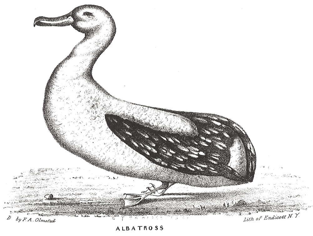 Olmsted Albatross