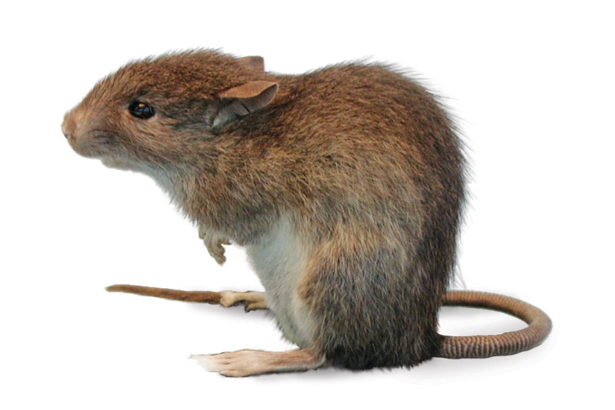 Pacific Rat