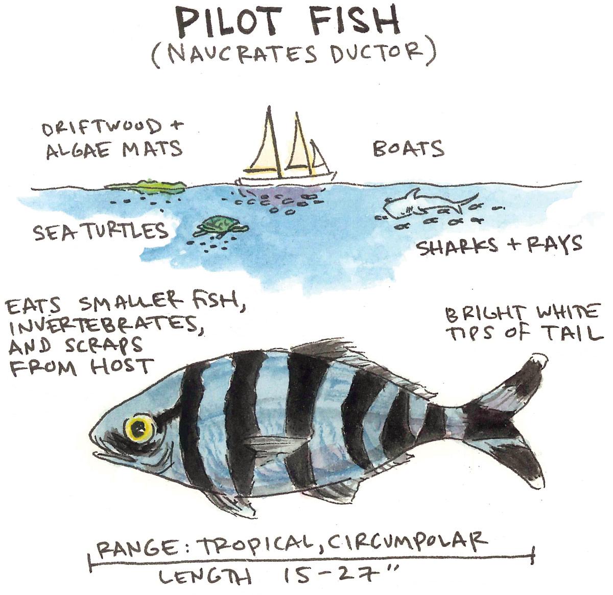 Pilot Fish Anatomy