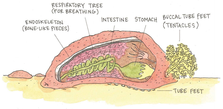 Sea Cucumber Anatomy