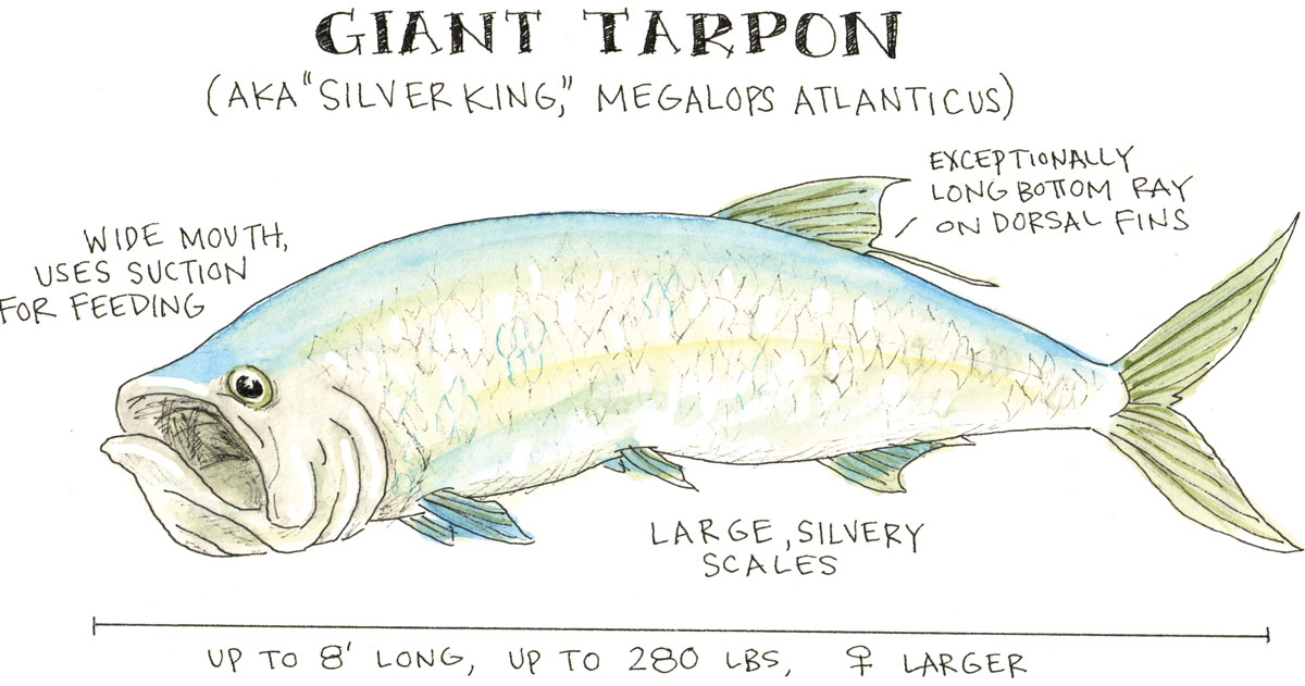 Silver King Tarpon Anatomy