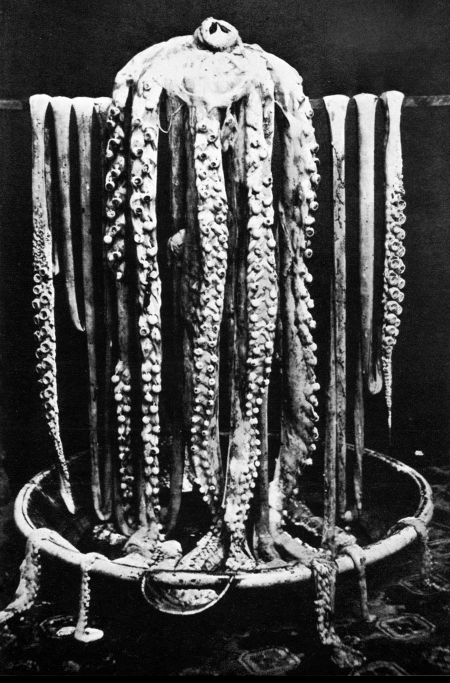Giant Squid Harvey Photograph