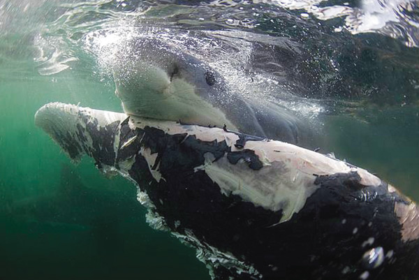Shark Eats Dead Whale