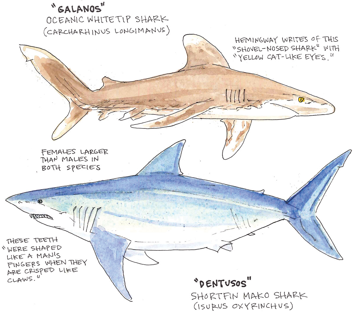 Sharks Anatomy