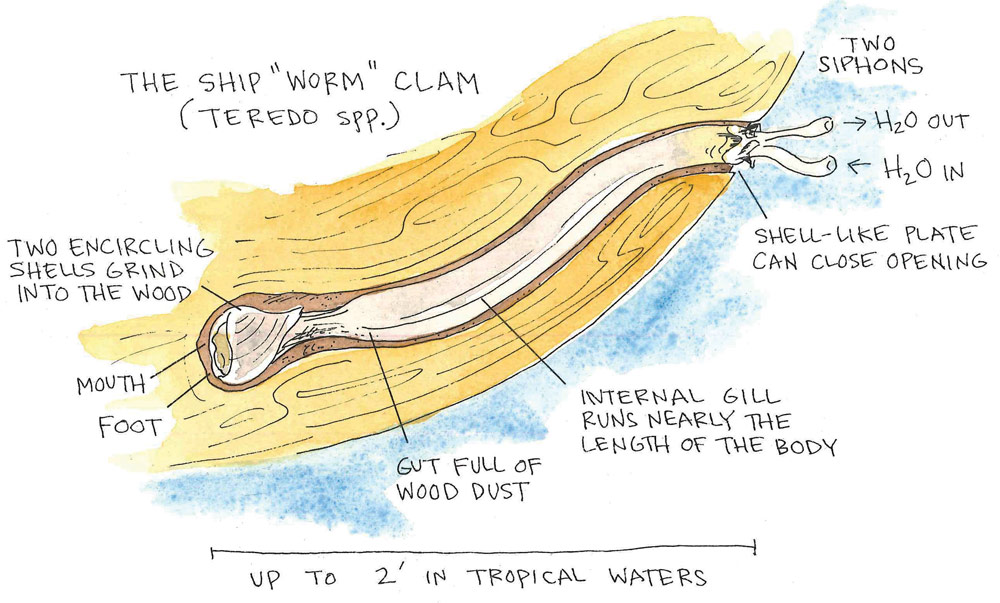 Ship Worm Anatomy