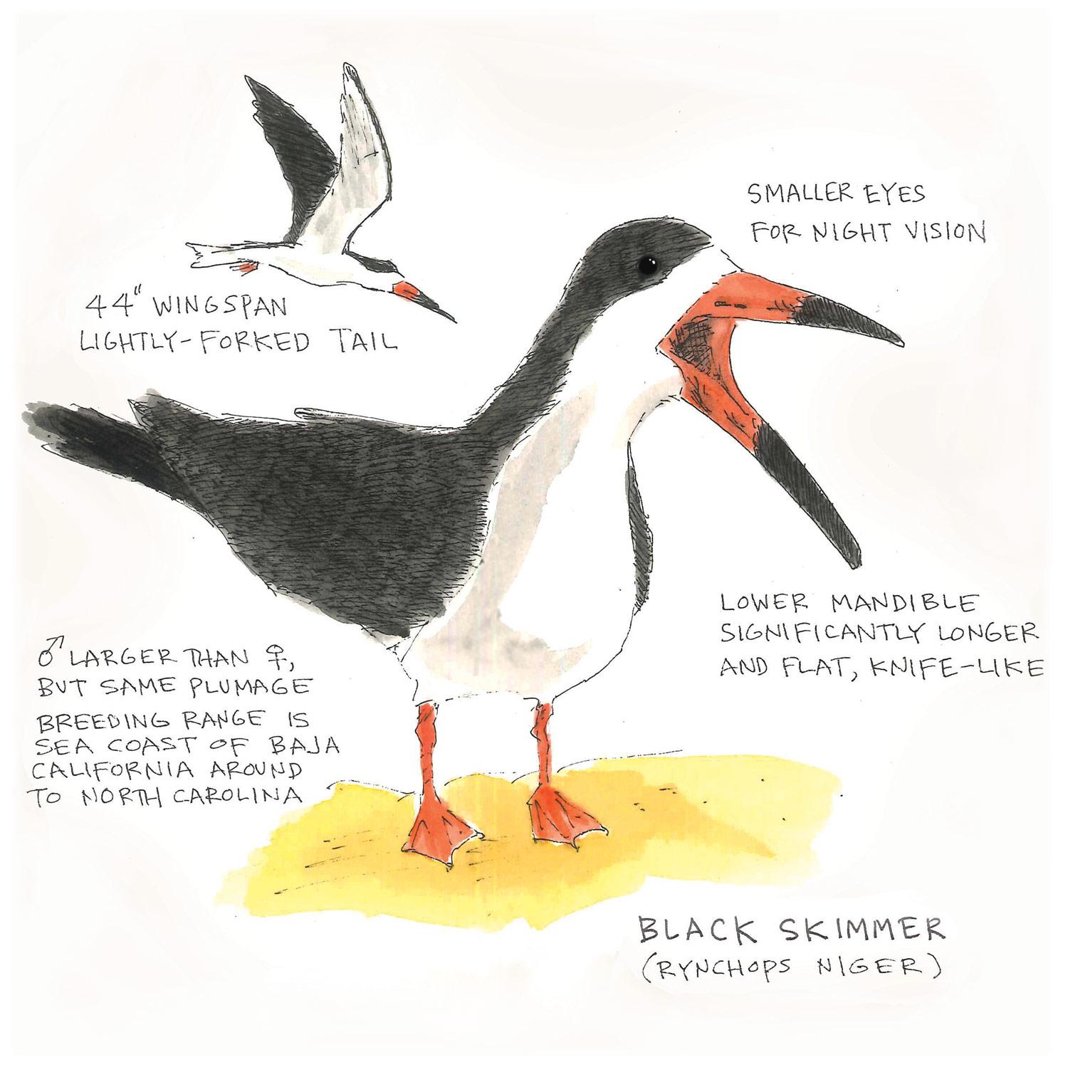 Skimmer Anatomy
