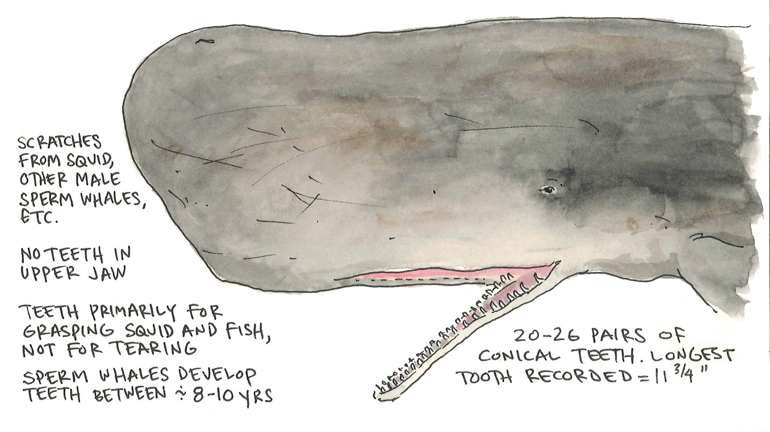 Sperm Whale Anatomy