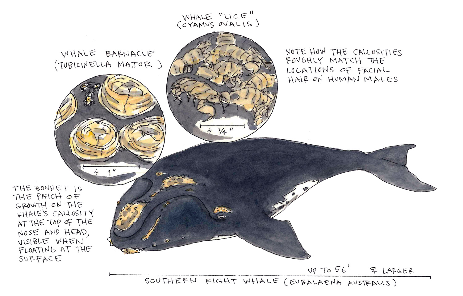 Bonnet of the Southern Right Whale - National Maritime Historical ...