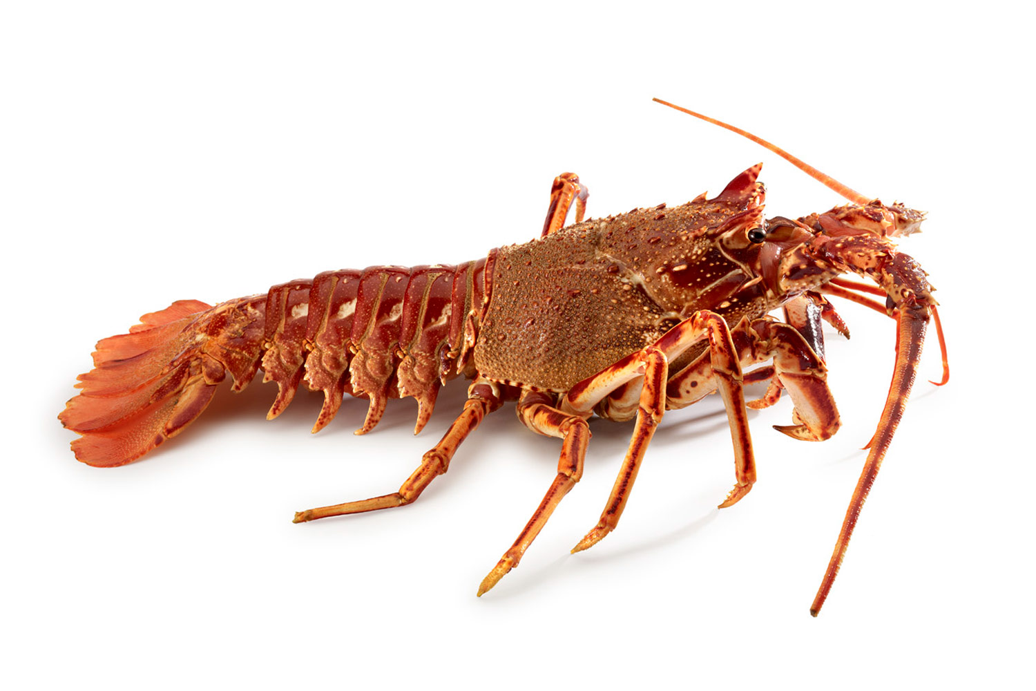 Sea Crawfish